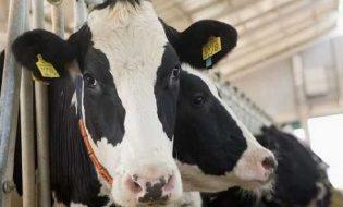 5 Yıl Ödemesiz Hayvancılık Kredisi Şartları